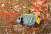 foto of emperor  - Emperor Angelfish - JPG
