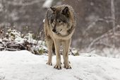 image of horrific  - Lone Grey wolf in a winter scene - JPG