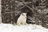 foto of arctic fox  - A lone Arctic Fox in a winter scene - JPG