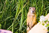 stock photo of groundhog day  - The Gopher Standing and watching something around - JPG