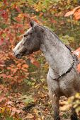 stock photo of appaloosa  - Portrait of nice appaloosa mare standing in autumn forest - JPG