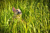 foto of american staffordshire terrier  - the puppy of the American Staffordshire terrier sits in a green grass - JPG