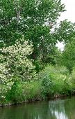 image of cottonwood  - Richly Interwoven Plant Life of Flowering Shrubs, Cottonwoods ** Note: Soft Focus at 100%, best at smaller sizes - JPG