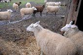 picture of dairy barn  - NAPAVINE - JPG