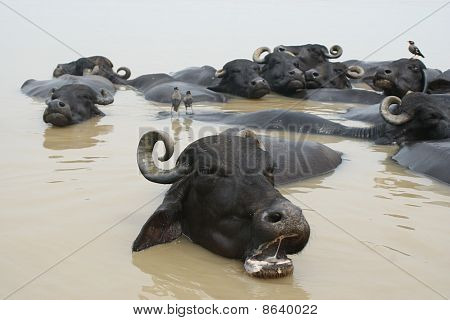 Cooperation of water buffaloes and birds