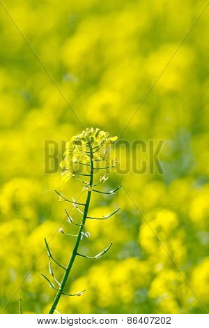 Colza yellow flower