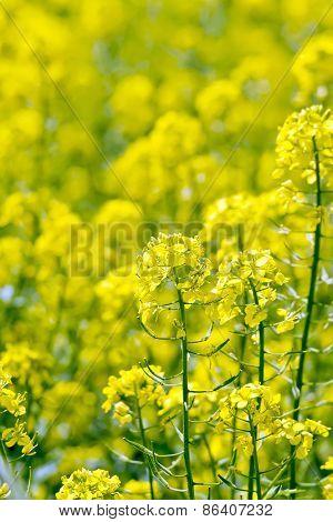 Colza yellow