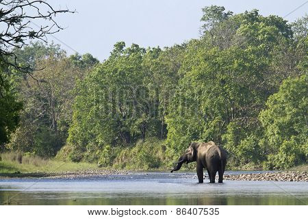 asian elephants at Bardia National Park, Nepal