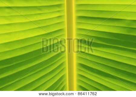 Horizontal Background and Texture of Banana Leaf and Stem