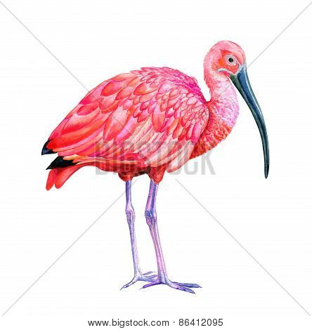 Scarlet Ibis Illustration
