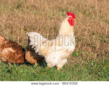 White Rooster In Grass In Countryside