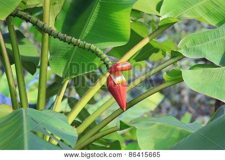 Banana Blossom And Stem from Banana Plantations