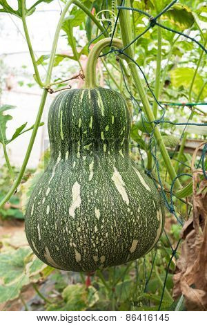 Squash Crop In Fruiting Stage