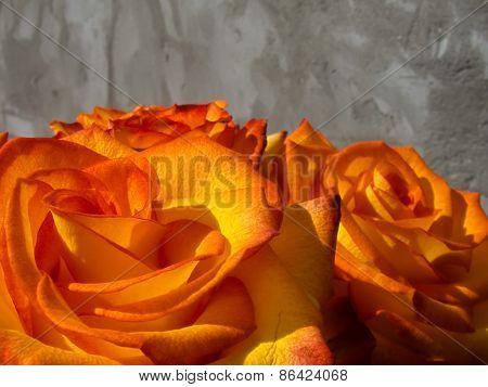 Bright Orange Rose
