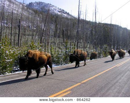 Buffalos Lined Up
