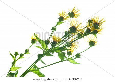 Elecampanel (inula Helenium)