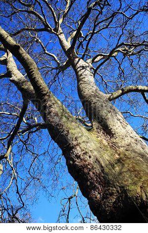 London Plane tree in winter