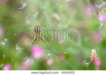 Argiope Wasp Spider