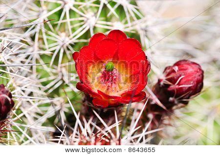 Red Claret Cup Cactus
