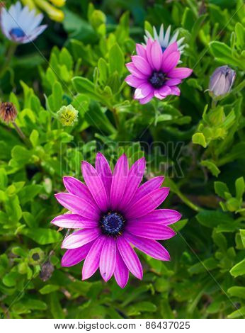 Beautiful Deep Purple Chrysanthemum Flower On Green Background