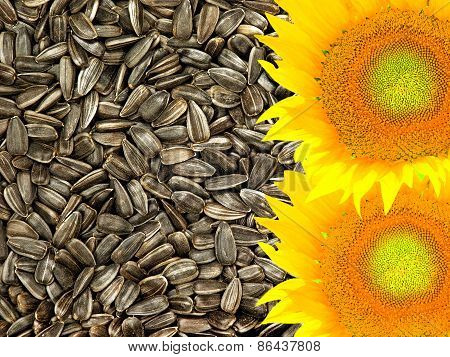 Colorful Yellow Sunflowers On Dried Black Seeds As Food Background.