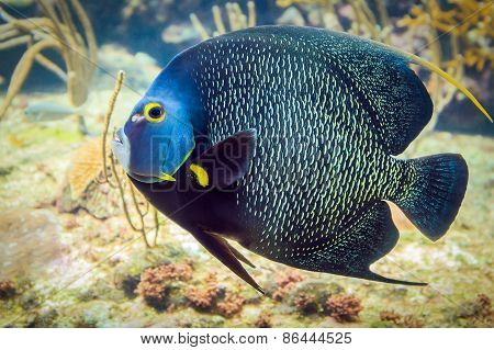 French Angelfish Closeup