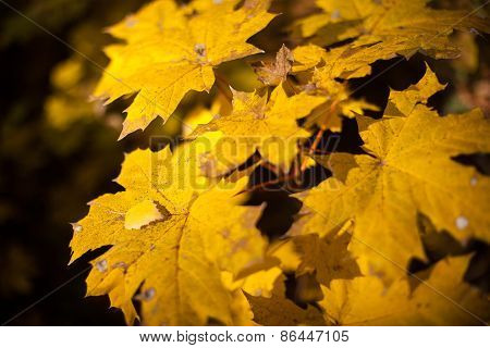 Autumn yellow leaves maple