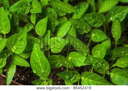 Green Sprouts Growing From Seeds. Pepper