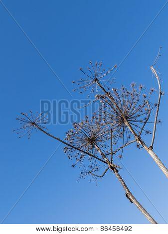 Dry Umbrella Plant