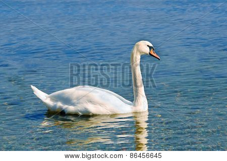 White Mute Swan On The Blue Water