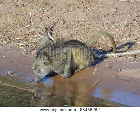 Drinking Baboon