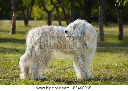 South Russian Sheep Dog