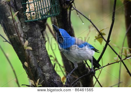 Scrub Blue Jay bird eating from a feeder