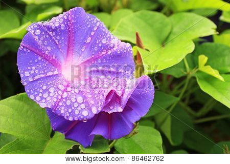 Morning Glory Flower With Drops