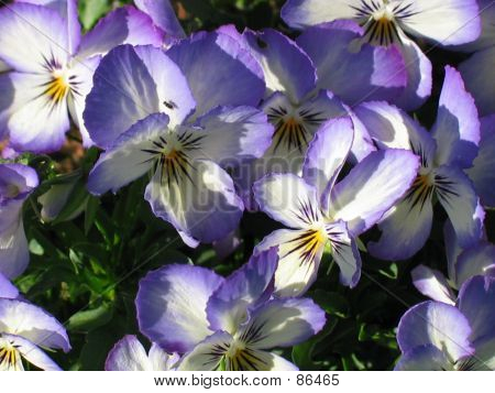 Crowd Of Violas