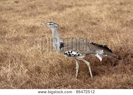 African Bird: Kori Bustard
