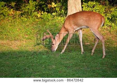 Hungry Buck