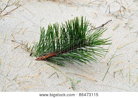 Sprout Pine On Sandy Dune