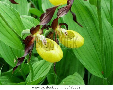 A pair of Lady's Slipper (cypripedium)