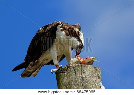 Osprey Eating Fish On A Light Pole