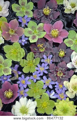Colorful Helleborus Flowers In Water