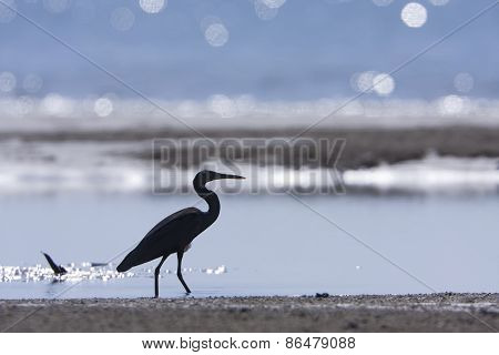 Egretta sacra, pacific reef egret walking on the beach, had Yao, Thailand