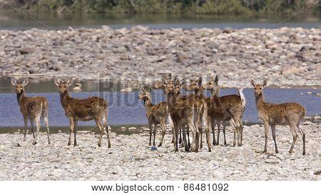 Cervus duvaucelii, swamp deers in the riverbank of the Karnali river, Bardia, Nepal