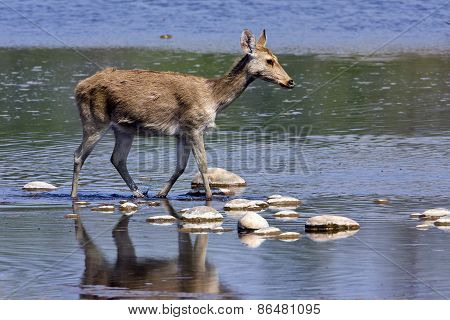Cervus duvaucelii, swamp deer crossing the Karnali river, Bardia, Nepal