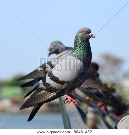 Groups Of Pigeon.