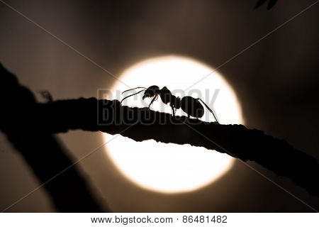 Silhouette Of An Ant Walking On A Branch