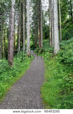 Forest Road In Coniferous Forest
