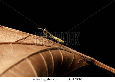 Praying Mantis - religiosa