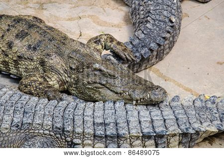 Big Crocodiles Resting In A Crocodiles Farm