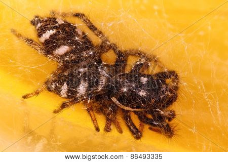 Jumping spiders (Salticus scenicus) mating